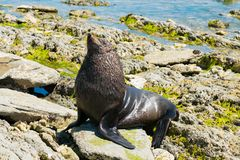 Black cute seal on the rock royalty free stock photo