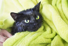 Black Cute soggy Cat after a Bath. Drying off with a Towel. Bathing pets, Hygiene Stock Image