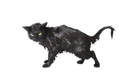 Black Cute Soggy Cat after a Bath, Funny Little Demon Stock Photos
