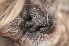 Black cute tiny nose of a furry pet dog Stock Photos
