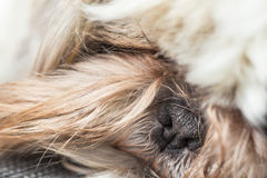 Free Black Cute Tiny Nose Of A Furry Pet Dog Stock Photography - 67975622