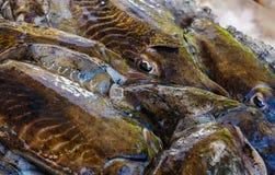 Black cuttlefish macro Stock Photo