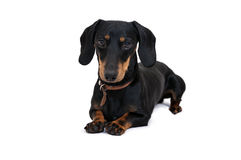 Black dachshound dog Royalty Free Stock Photos