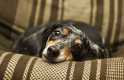 Black dachshund Royalty Free Stock Images