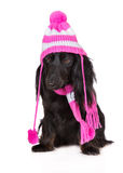 black dachshund dog in a hat and scarf Royalty Free Stock Photo