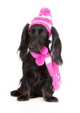 Black dachshund dog in a hat and scarf Royalty Free Stock Image