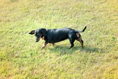 Black Dachshund dog on the lawn. Walking and looking at green grass, viewed from high angle stock photography