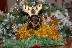 Dachshund dog wearing Christmas reindeer antlers stock images