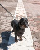 Black  dachshund  on polar circle in Rovaniemi, Finland Stock Photos