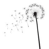 Black  dandelion Royalty Free Stock Photos