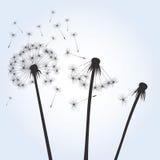 Black  dandelions Royalty Free Stock Photography