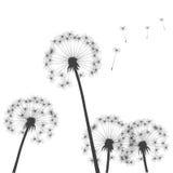 Black  dandelions Stock Photography