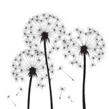 Black  dandelions Royalty Free Stock Photography