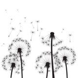 Black Dandelions and Wind. Vector Illustration Stock Photo