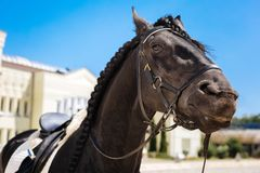 Black dark-eyed horse submissively standing on big race track. Dark-eyed horse. Black dark-eyed horse submissively standing on big race track before taking part royalty free stock image