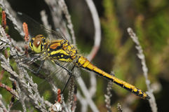 Black Darter Dragonfly Stock Image