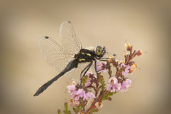 Black Darter dragonfly royalty free stock photography