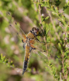 Black darter dragonfly macro Royalty Free Stock Photography