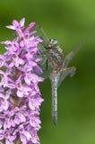 Black Darter Dragonfly Royalty Free Stock Image