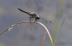 Black Darter Dragonfly Stock Photos