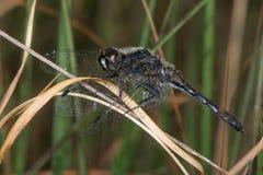 Black darter dragonfly (Sympetrum danae). Stock Photography
