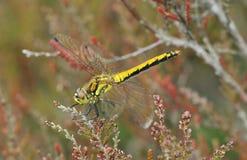 Black Darter Dragonfly Royalty Free Stock Photo