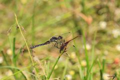 Black Darter dragonfly Royalty Free Stock Images