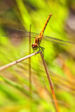 Black Darter - females Royalty Free Stock Photos