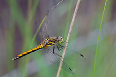 Black Darter Royalty Free Stock Photo
