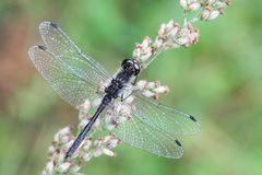 Black darter, Sympetrum danae. Known also as Meadowhawk Royalty Free Stock Photo