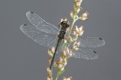 Black darter, Sympetrum danae. Known also as Meadowhawk Stock Photography