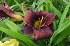 Black daylily. Black red flower of daylily in garden, Hemerocallis 'Buckyballs Stock Image