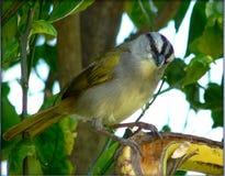 black den avrivna sparrowen royaltyfri fotografi