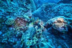 black den flammiga porcupinefishen arkivbilder