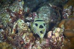 black den flammiga porcupinefishen fotografering för bildbyråer