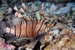 black den flammiga porcupinefishen arkivfoton