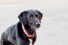 black den skotska terrieren Utbildad hundvakthouse_ royaltyfria foton