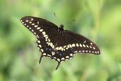 Black den Swallowtail fjärilen Royaltyfri Foto