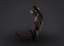 Black devon rex cat. On black background royalty free stock image