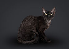 Black devon rex cat Royalty Free Stock Images