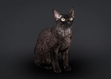 Black devon rex cat Stock Photos
