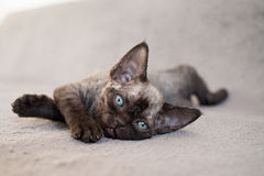 Adorable back Devon Rex kitten is laying down on a sofa.  Royalty Free Stock Images