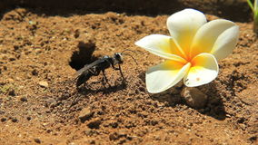 Black Digger Wasp with Frangipani stock video footage
