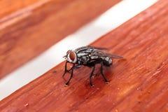Black diptera fly Royalty Free Stock Image