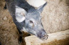 Black dirty pig Royalty Free Stock Image
