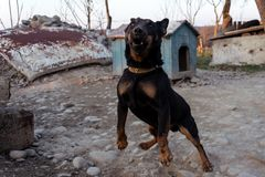 Black Doberman barking on the chain showing teeth and his anger stock photo