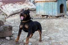 Black Doberman barking on the chain showing teeth and his anger. 2018 Royalty Free Stock Image