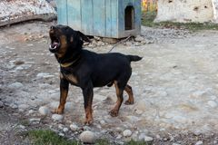 Black Doberman barking on the chain showing teeth and his anger. 2018 Stock Image