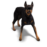 Black Doberman Dog Royalty Free Stock Photography