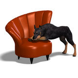 Black Doberman Dog Stock Image